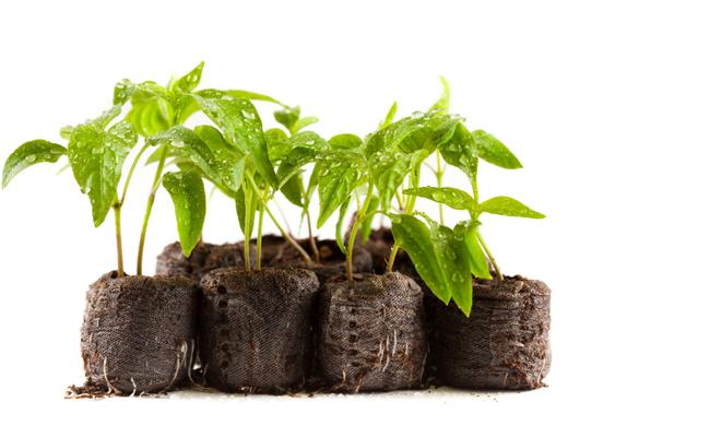 выращивание-перца
