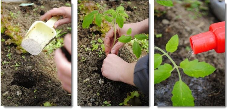 Томаты выращивание и уход подкормка