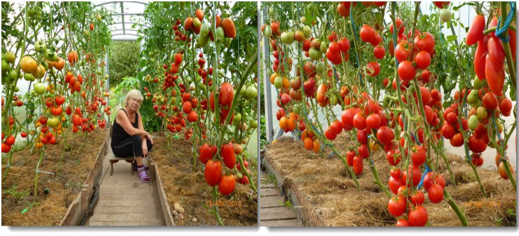 когда и чем удобрять томаты