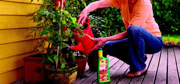 Чем подкормить помидоры - народные средства удобрения помидор, минеральные и органические удобрения