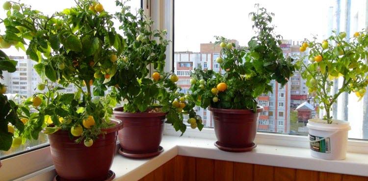 выращивание помидор на подоконнике - советы и хитрости вкусного урожая