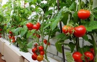 Сорта помидоров для балкона: какие лучше выбрать?