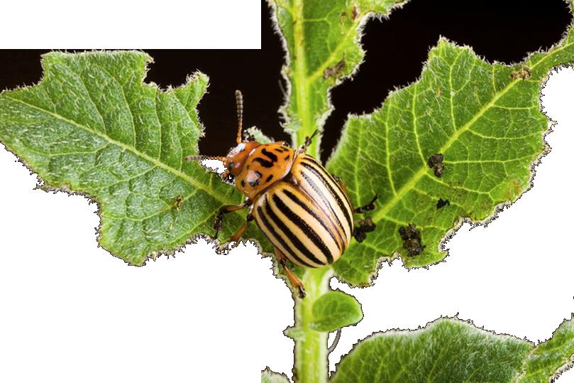 Чем травить колорадского жука на картошке 2018