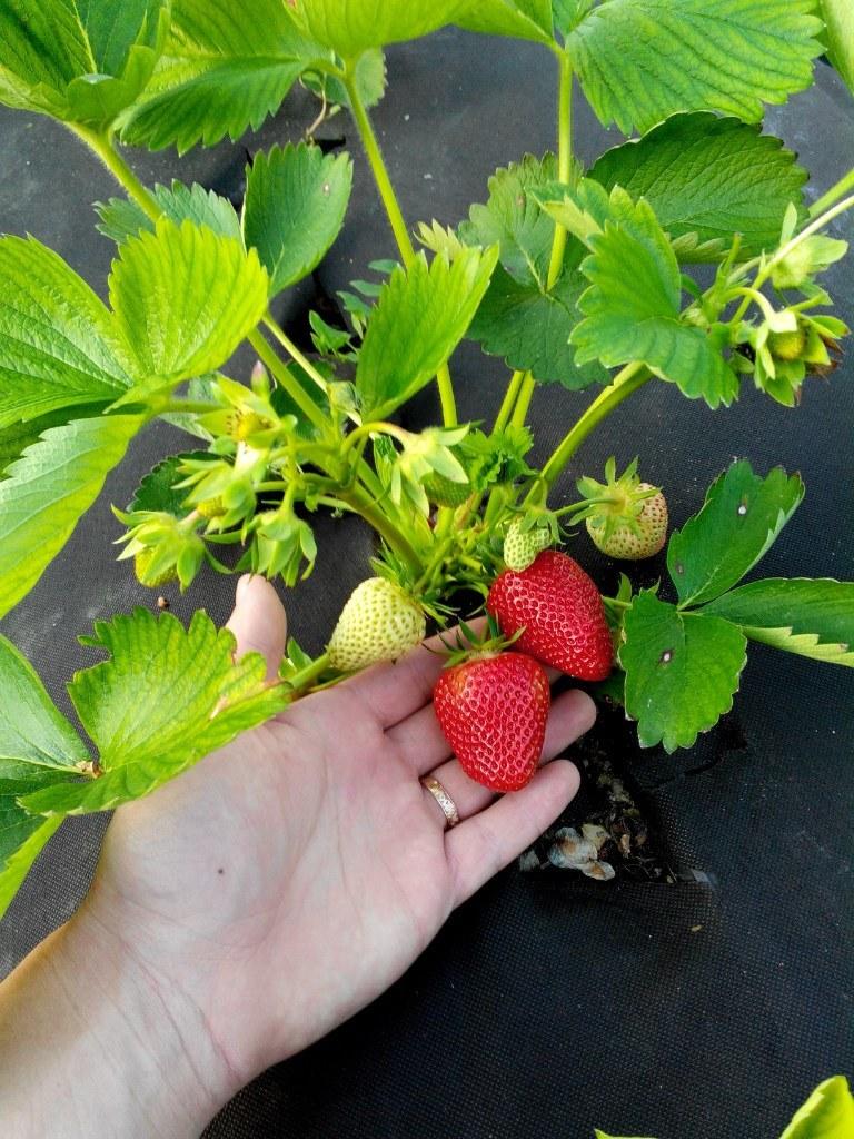 Клубника королева Елизавета - посадка и уход, характеристика сорта, советы опытных садоводов по выращиванию