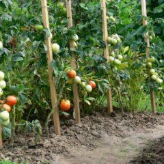 Фитофтора на помидорах - как бороться, эффективные и действенные методы борьбы, народные средства