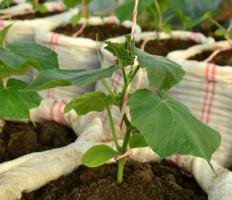 Огурцы в мешках – выращивание урожая до поздней осени