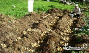 Картофель под соломой