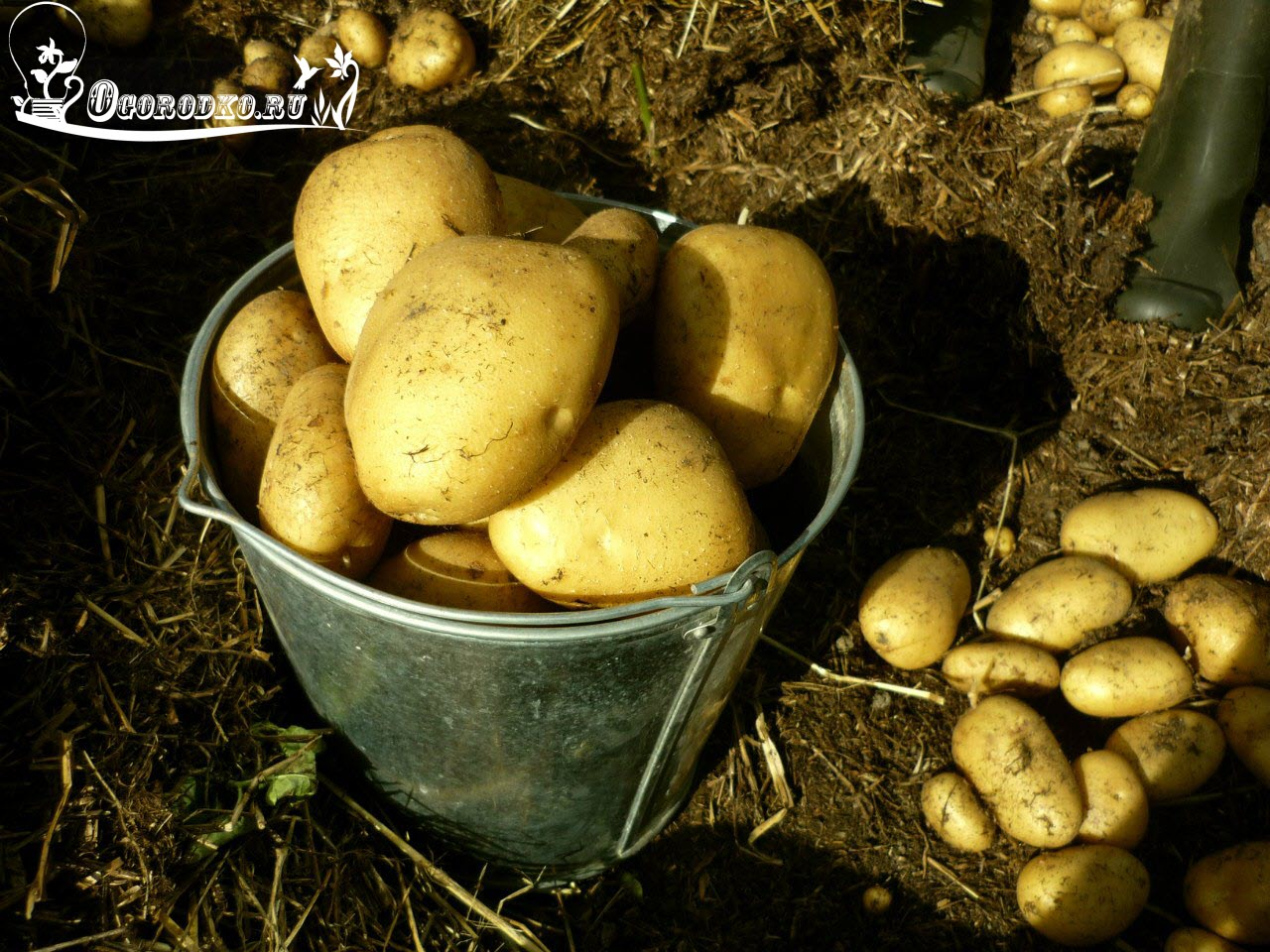 kak vyrastit' kartofel' pod senom