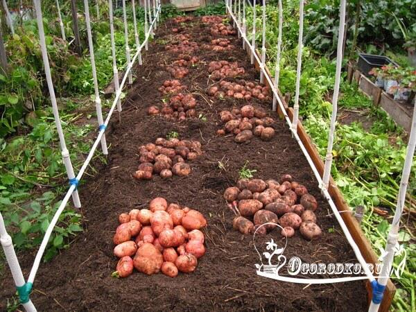 посадка картофеля под солому
