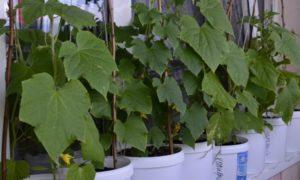 Выращивание огурцов на балконе - технология и правила, советы бывалых
