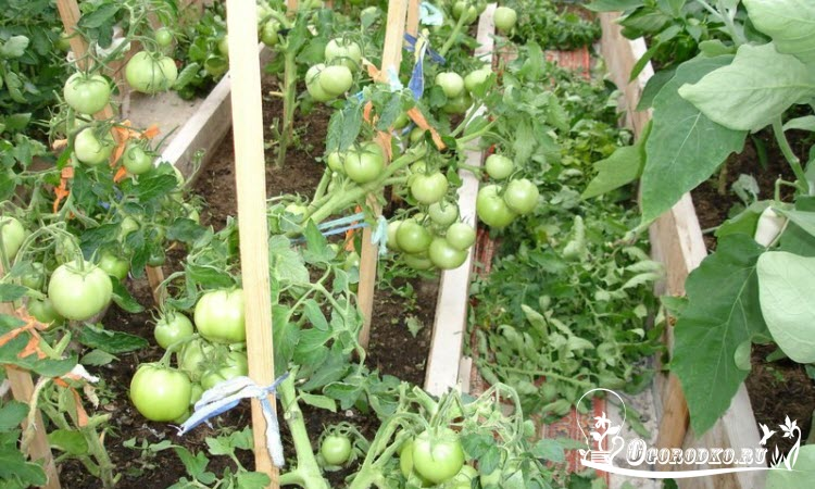 """помидоры сорт """"Джина"""""""