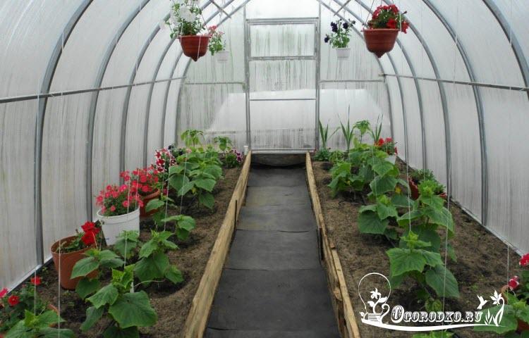 Выращивание огурцов в теплице зимой из поликарбоната 71
