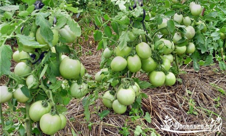 """помидоры сорт """"Столыпин"""""""