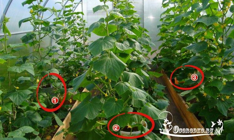 Выращивание огурцов в теплиц зимой 603