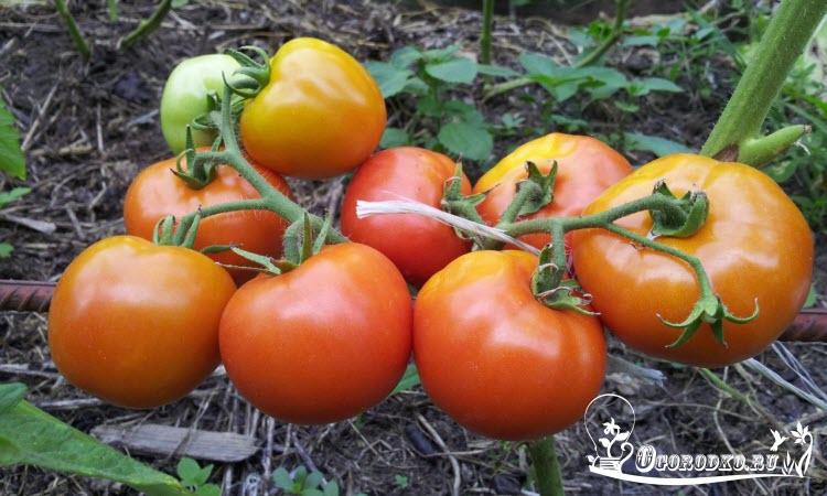 сорт помидор Санька