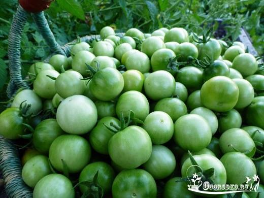 zelenyye pomidory