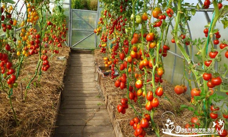высокорослые (индетерминантные) помидоры