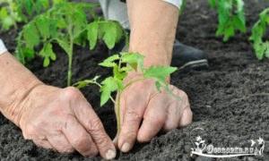 высадка рассады помидор - когда и как пересаживать в открытый грунт и теплицу