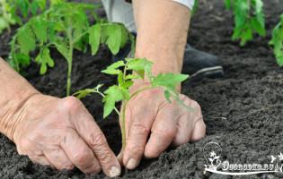 Высадка рассады помидор в открытый грунт – тонкости и секреты