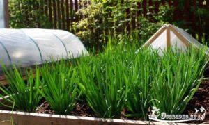 выращивание зеленого лука - технология, как ухаживать