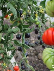 Лучшие сорта помидоров для открытого грунта – гарантия вкусного и богатого урожая!