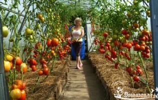 Высокорослые помидоры – удивите всех небывалым урожаем!