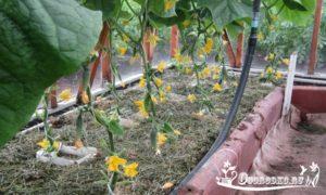 Лучшие сорта огурцов для теплицы - отечественные и зарубежные сорта и гибриды, голландской селекции