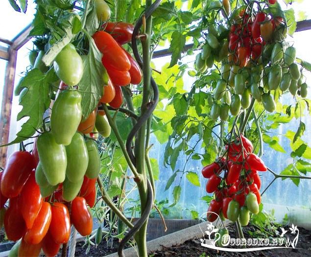 помидоры сорт Фляшен