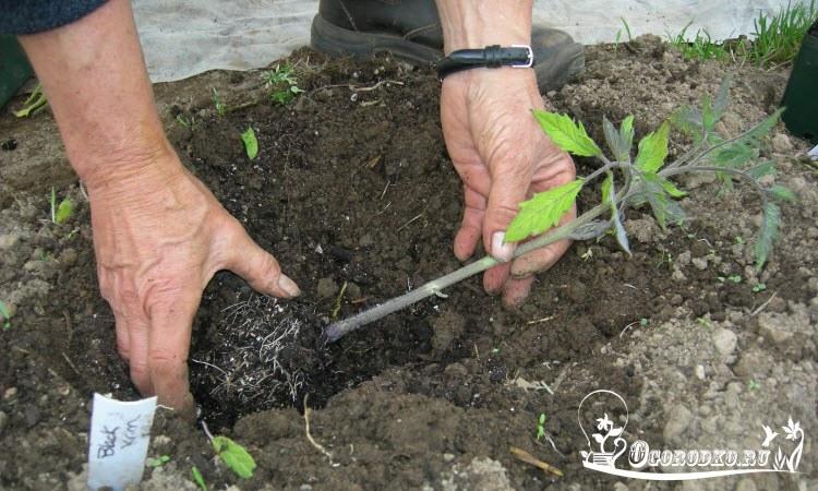 как правильно высадить рассаду помидор в грунт - схема посадки, глубина, что класть в лунку при посадке