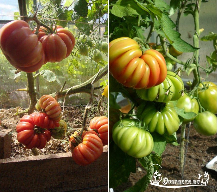 "томаты ""Грибное лукошко"""