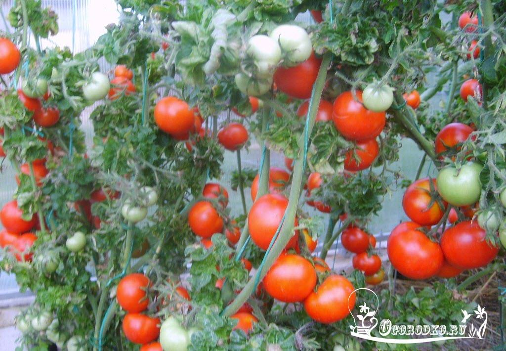 "томаты ""палка"""
