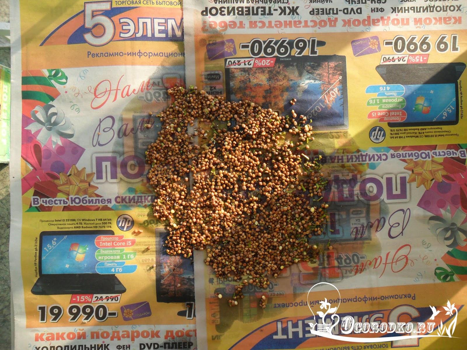 semena rediski na prosushke