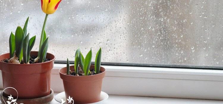 Тюльпаны в домашних условиях – как посадить и вырастить шикарные цветы?