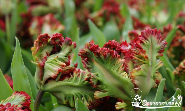 Голландские тюльпаны сорт экзотик пэррот