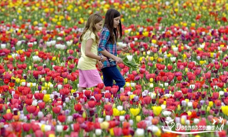 сорта Голландских тульпанов