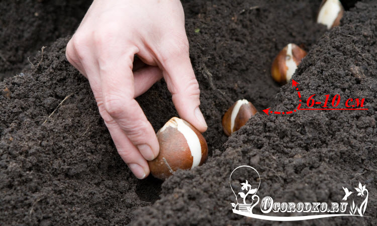 Расстояние между луковицами тюльпанов при посадке