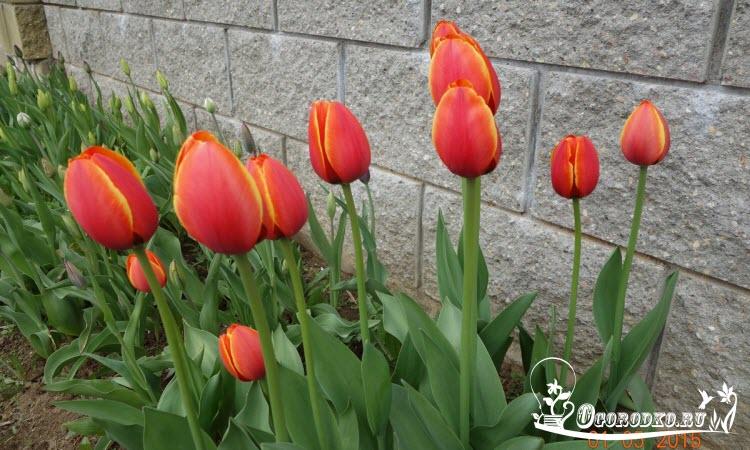 Голландские тюльпаны сорт Парад Рекорд