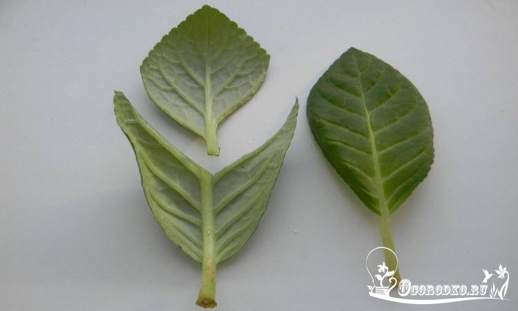 Размножение глоксинии листом