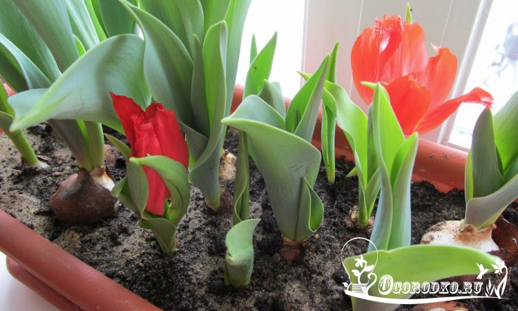 Выращивание тюльпанов в домашних условиях видео