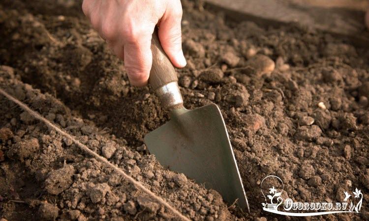 как сеять укроп под зиму