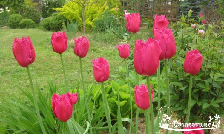 Голландские тюльпаны сорт Бургунди Лейс