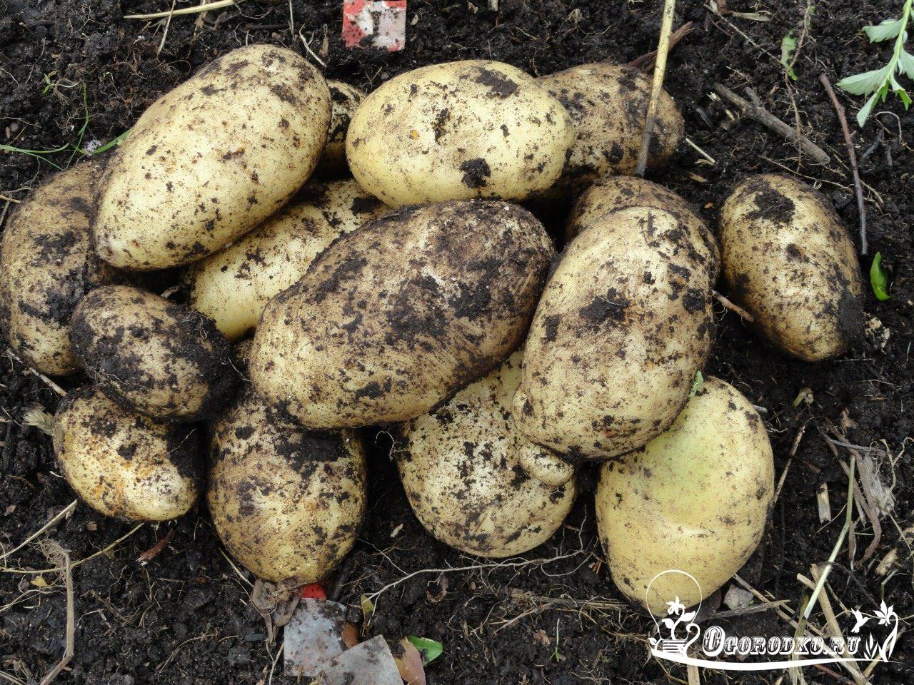 Сонник картошка, толкование снов. К чему снится 66