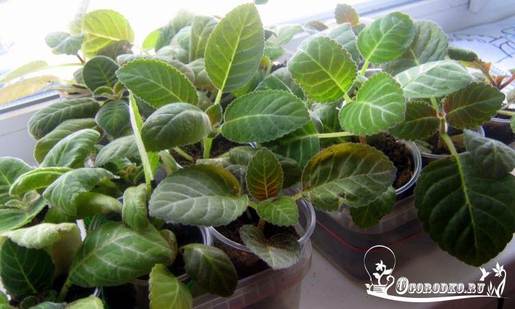 рассада глоксинии выращенная из семян, срок 5 месяцев