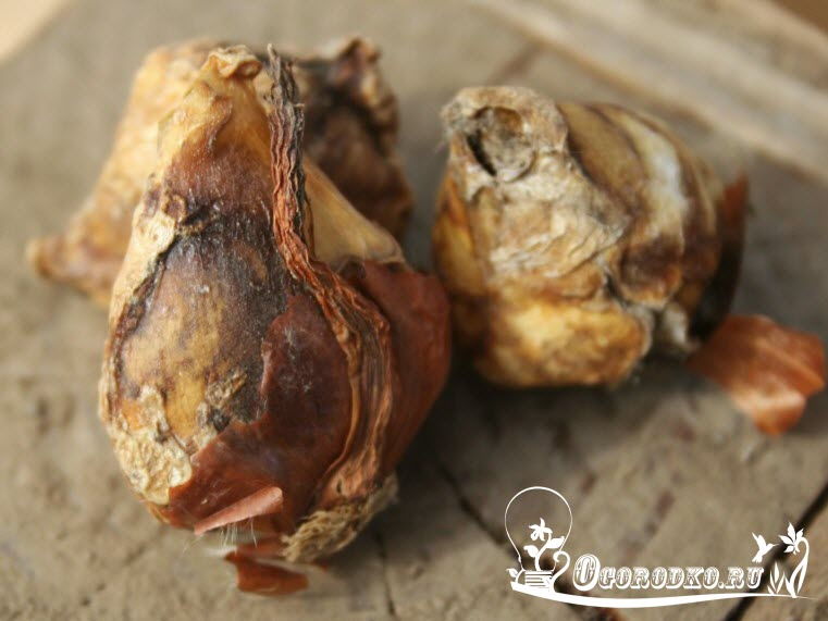 как сохранить луковицы тульпанов