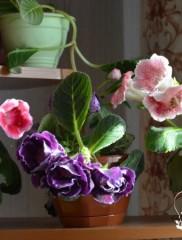 Как вырастить глоксинию и добиться пышного цветения в домашних условиях