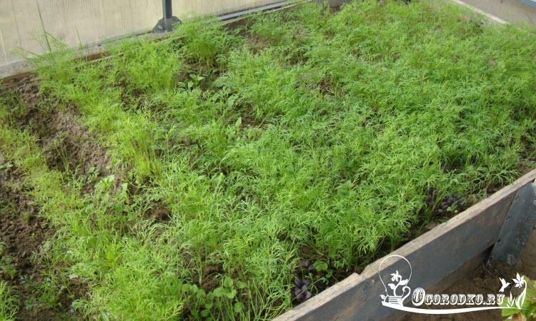 выращивание укропа в теплице