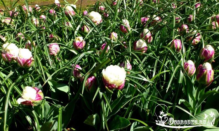Голландские тюльпаны сорт Айс Крим (Ice Cream Tulpe)