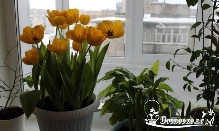 тюльпаны в горшке в домашних условиях