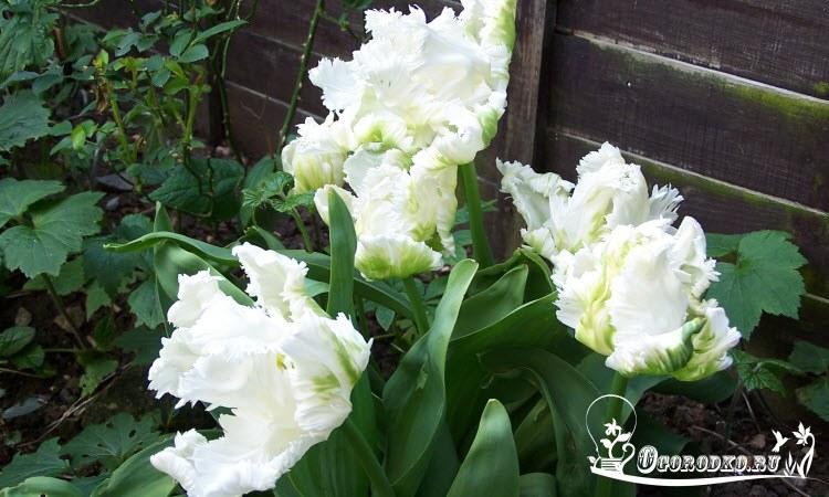 Голландские тюльпаны сорт Уайт Пэррот