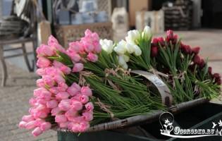 Голландские тюльпаны – цветочный парад на вашем участке!